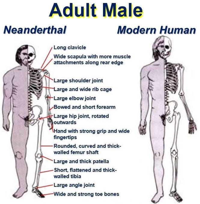 Neanderthal vs Human adult male