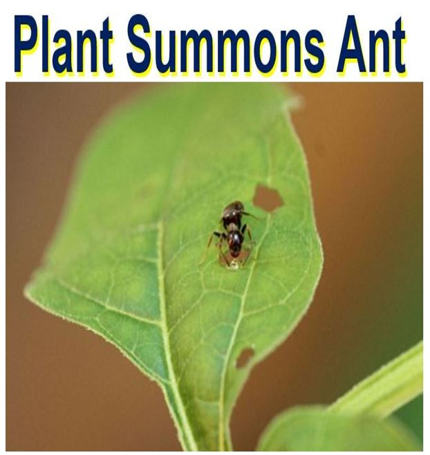 Plant summons ant for protection