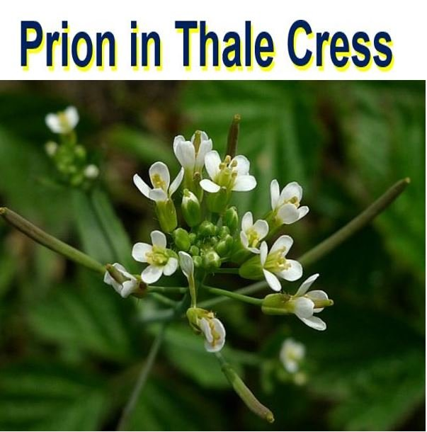 Prion found in thale cress plants