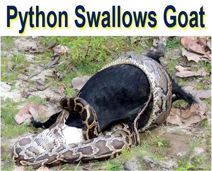 Python swallows goat