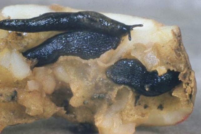 Slugs on tuber