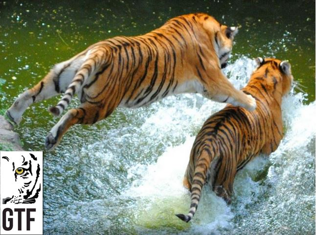 Tigers are excellent swimmers