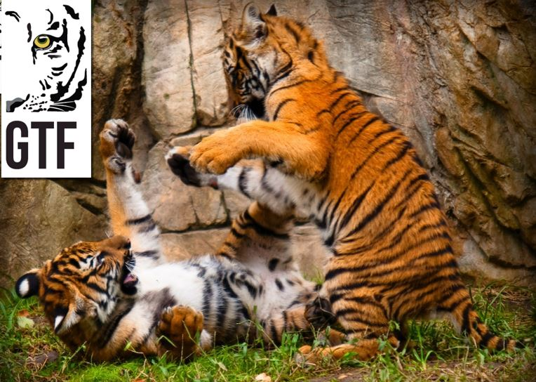 Two tiger cubs playing