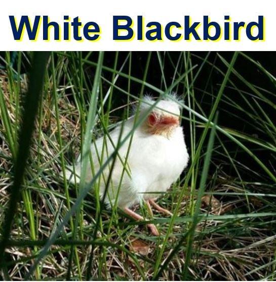 White Blackbird or Albino Blackbird