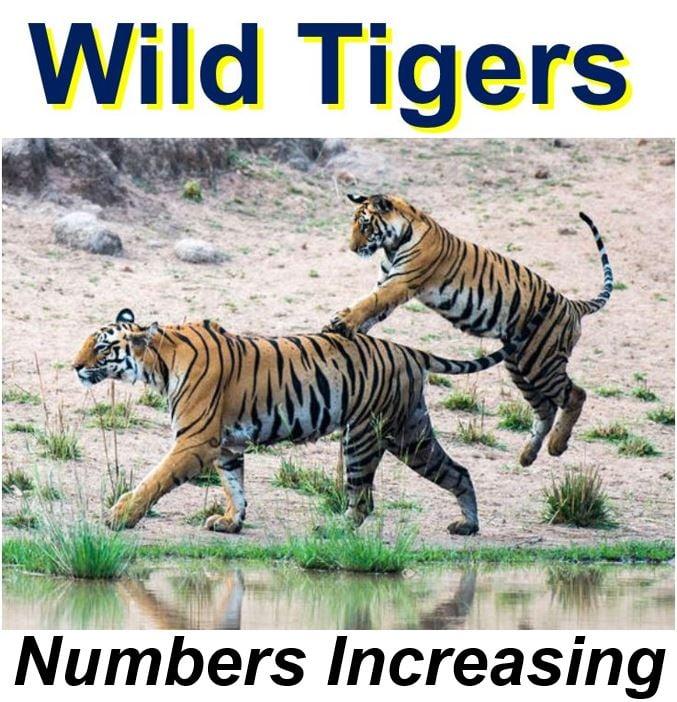 Wild tiger population increasing