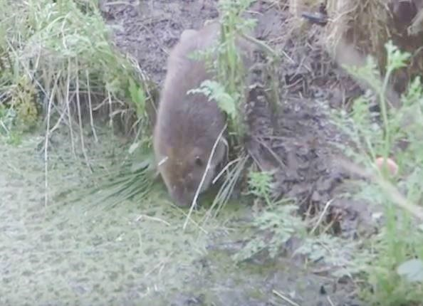 Beaver comes out of new house to check water