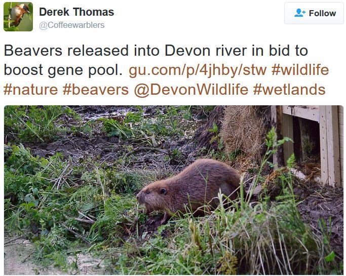 Beavers released in devon Twitter