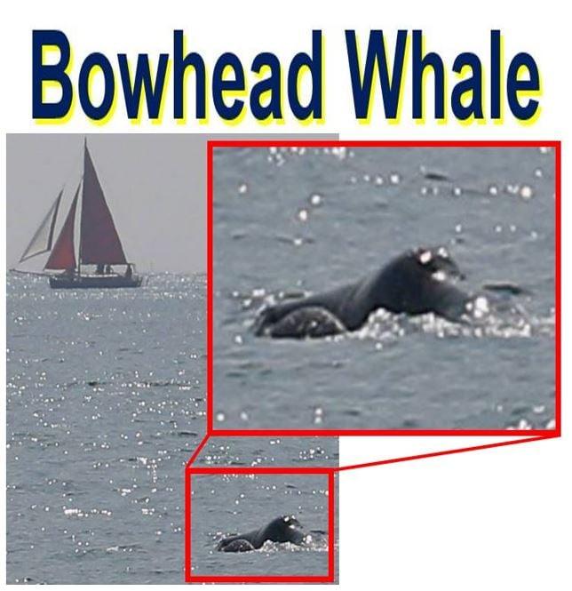 Bowhead Whale spotted off Cornish coast