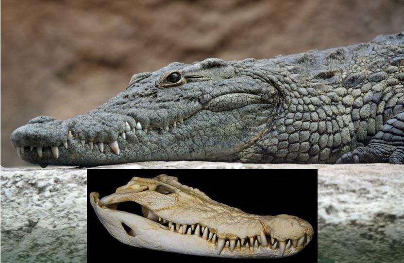 Crocodile and skull