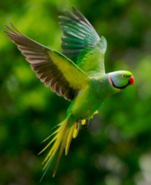 Echo Parakeet