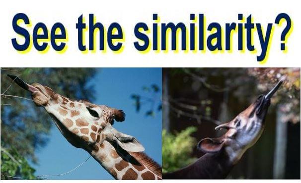 Giraffe and Okapi feeding