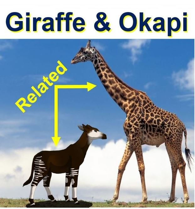 an introduction to the adaptation and a comparison of the okapi and giraffe Evolution of the giraffe jess_pulfer 4994 structures or mutations that would evolve because of adaptation comparison of okapi and giraffe structure 30.