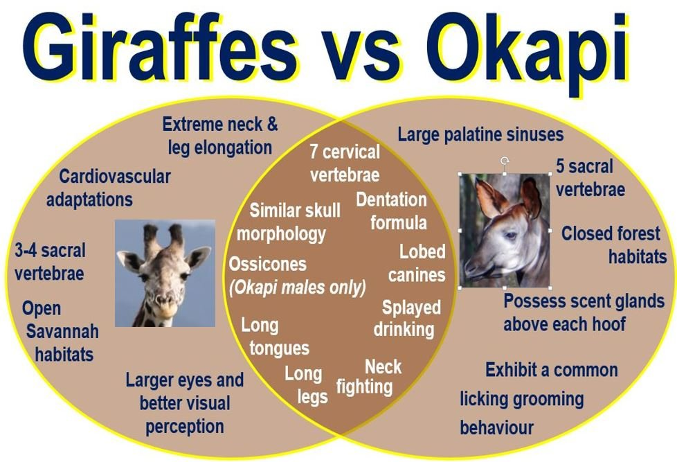 Giraffes vs Okapi