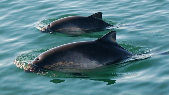 Harbour porpoise mother and calf