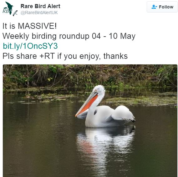 Rare pelican seen in UK for first time