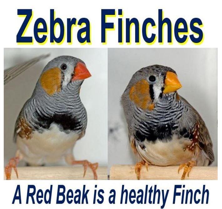 Red bird zebra finch