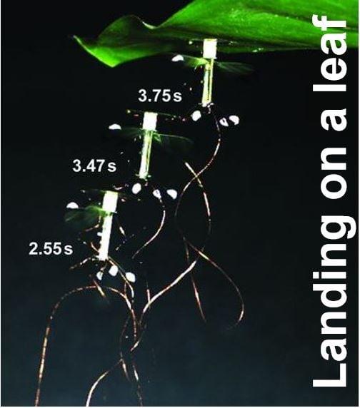 RoboBee landing on a leaf