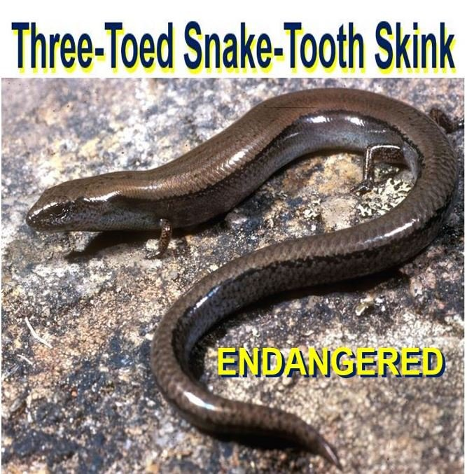 Three toed Snake tooth Skink