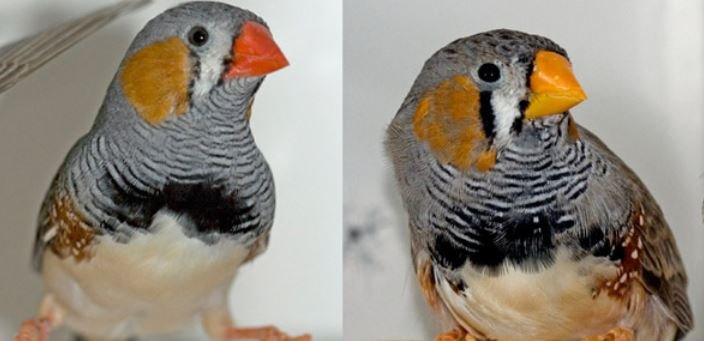 Wild and caged zebra finches