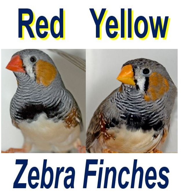 red and yellow beaks zebra finches