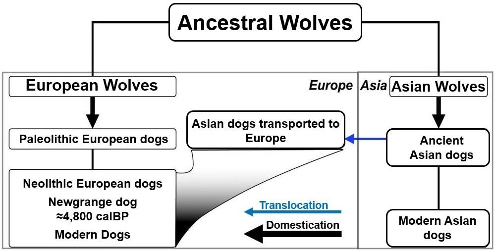 Ancestral wolves dogs Asia and Europe