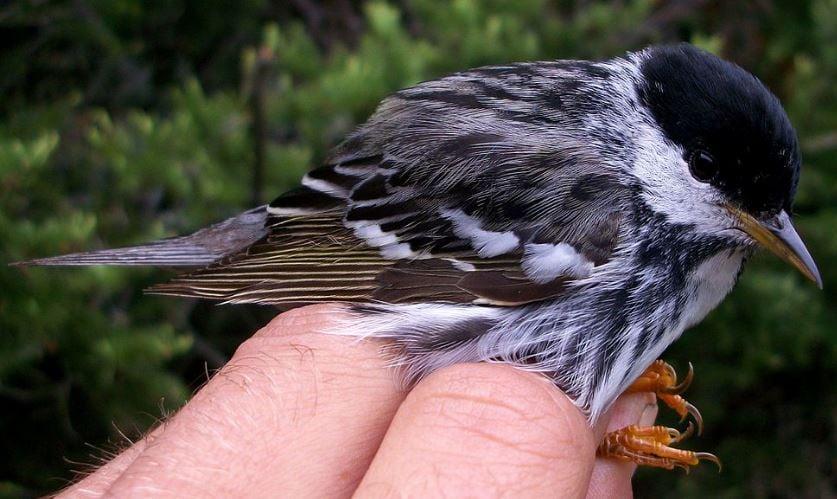 Blackpole Warbler