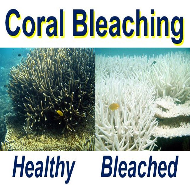 Coral bleaching healthy and bleached