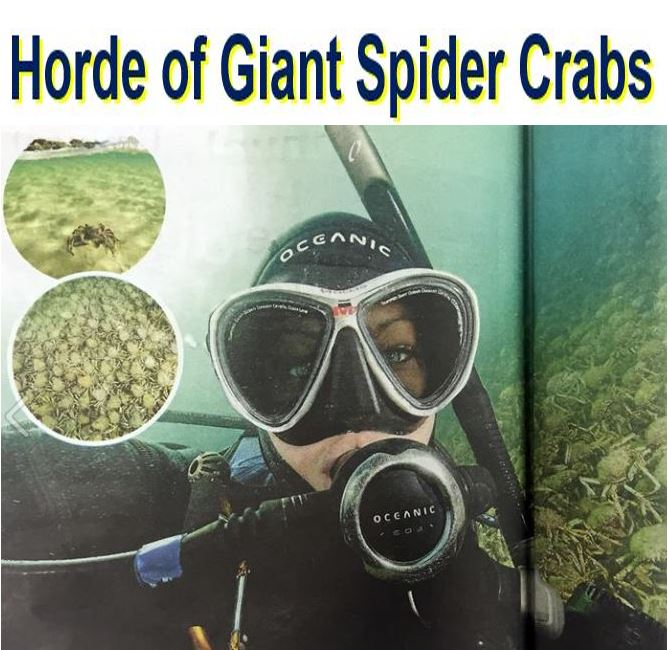 Huge horde of giant spider crabs