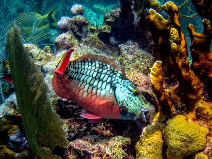 Parrot fish nibbling away at corals