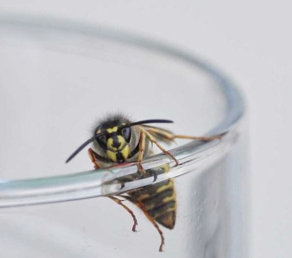 Wasp on glass
