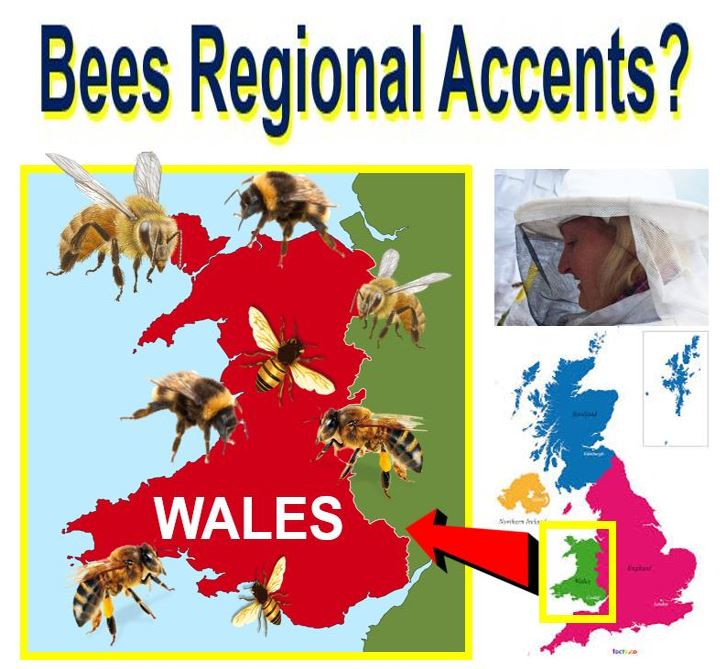 Do bees have regional accents