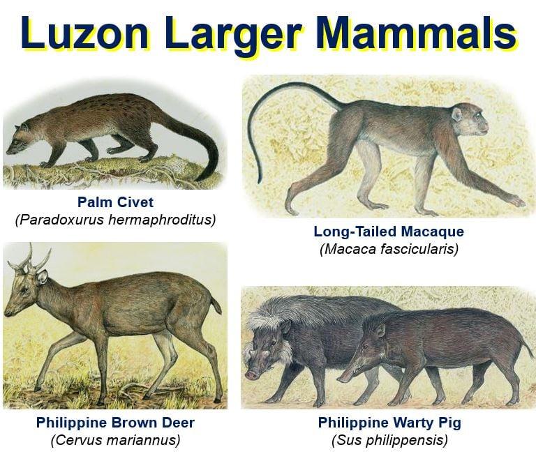 Luzon Larger Mammals