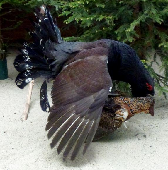 Male Capercaillie mounting a female