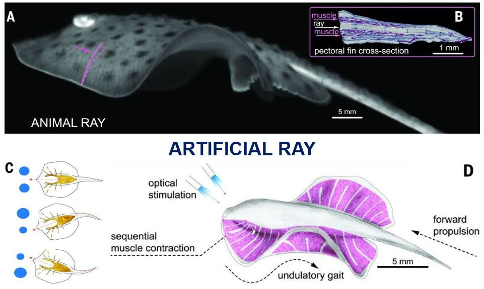 Natural and artificial ray