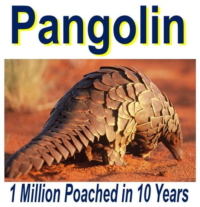 over-a-million-pangolines-poached-in-ten-years