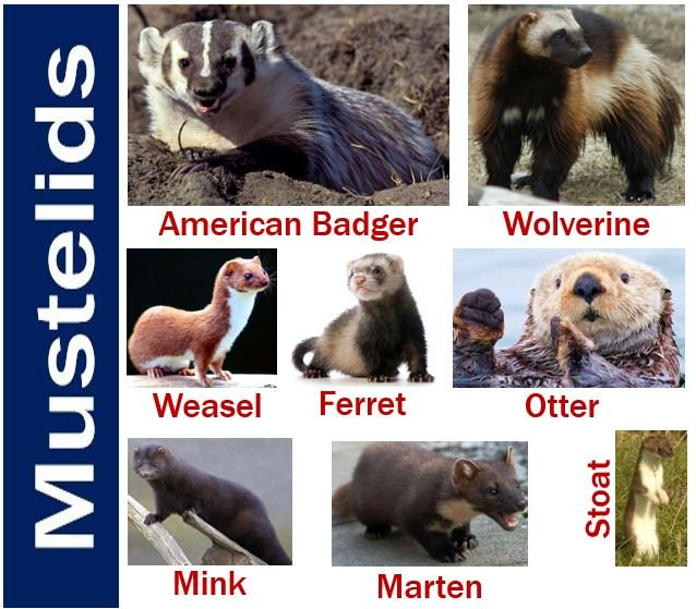 The badger is a mustelid