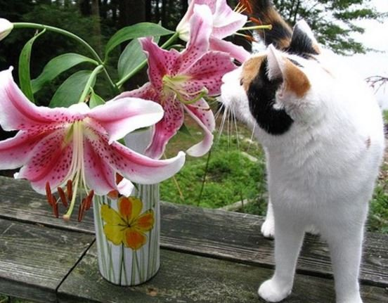 Lily toxicity - cats