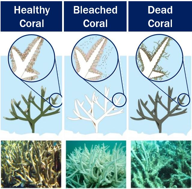 Healthy coral - bleached coral - dead coral