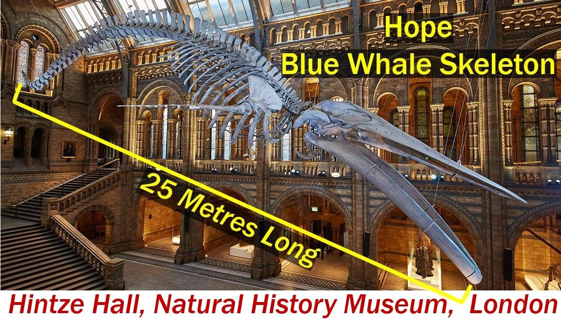 Blue Whale Skeleton HOPE - Natural History Museum