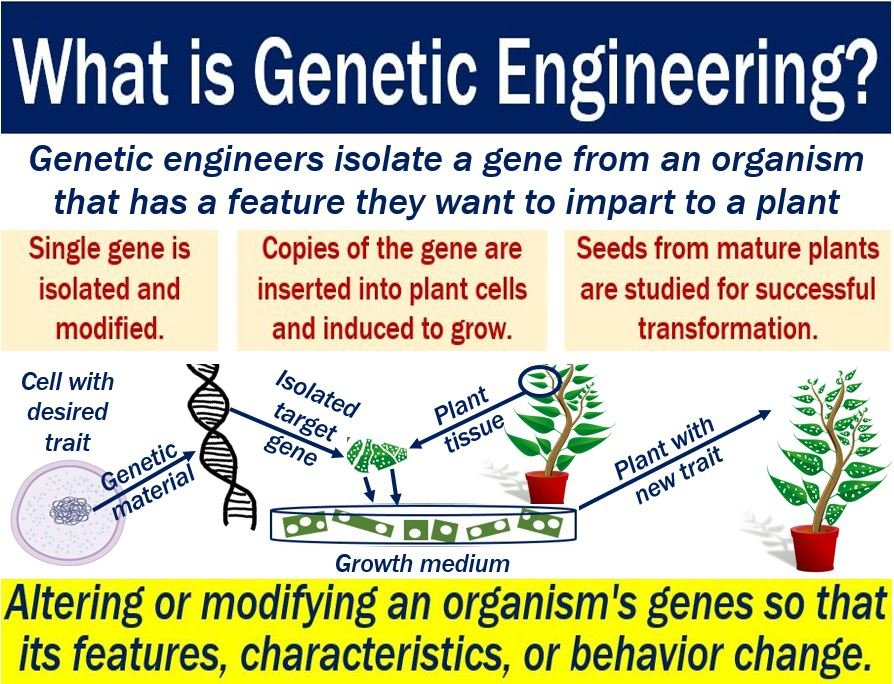 understanding genetic engineering and its applications Genetic engineering genetic engineering is the alteration of genetic code by artificial means, and is genetic engineering is a highly debatable science with some countries outlawing its research in some of its there are many aspects of genetic engineering and to thoroughly understand it looking into each in recent years genetically modified organisms have found many practical applications.