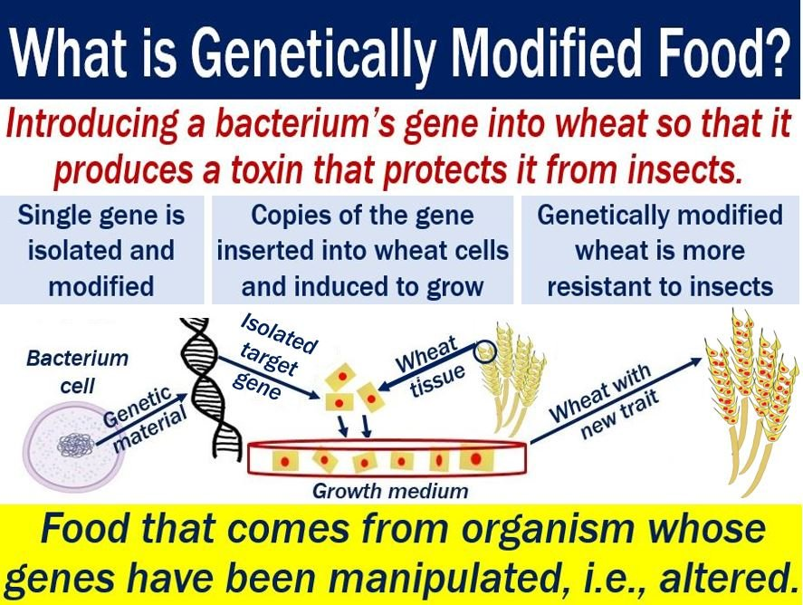 Genetically modified food - explanation of meaning and illustration